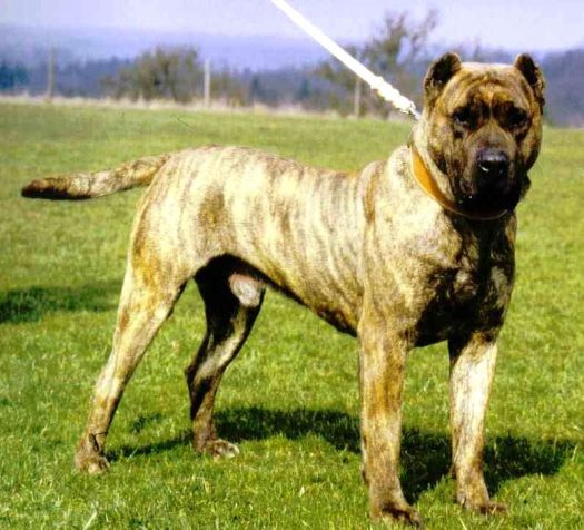 Is this a Cane Corso?