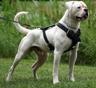 Hybrid Type American Bulldog Spartan dogs - united states