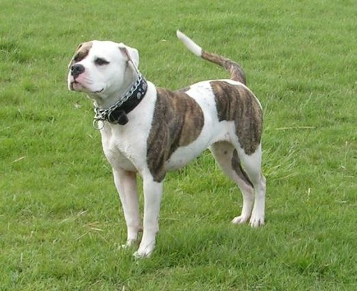 Is this a American Bulldog (Hybrid type)?