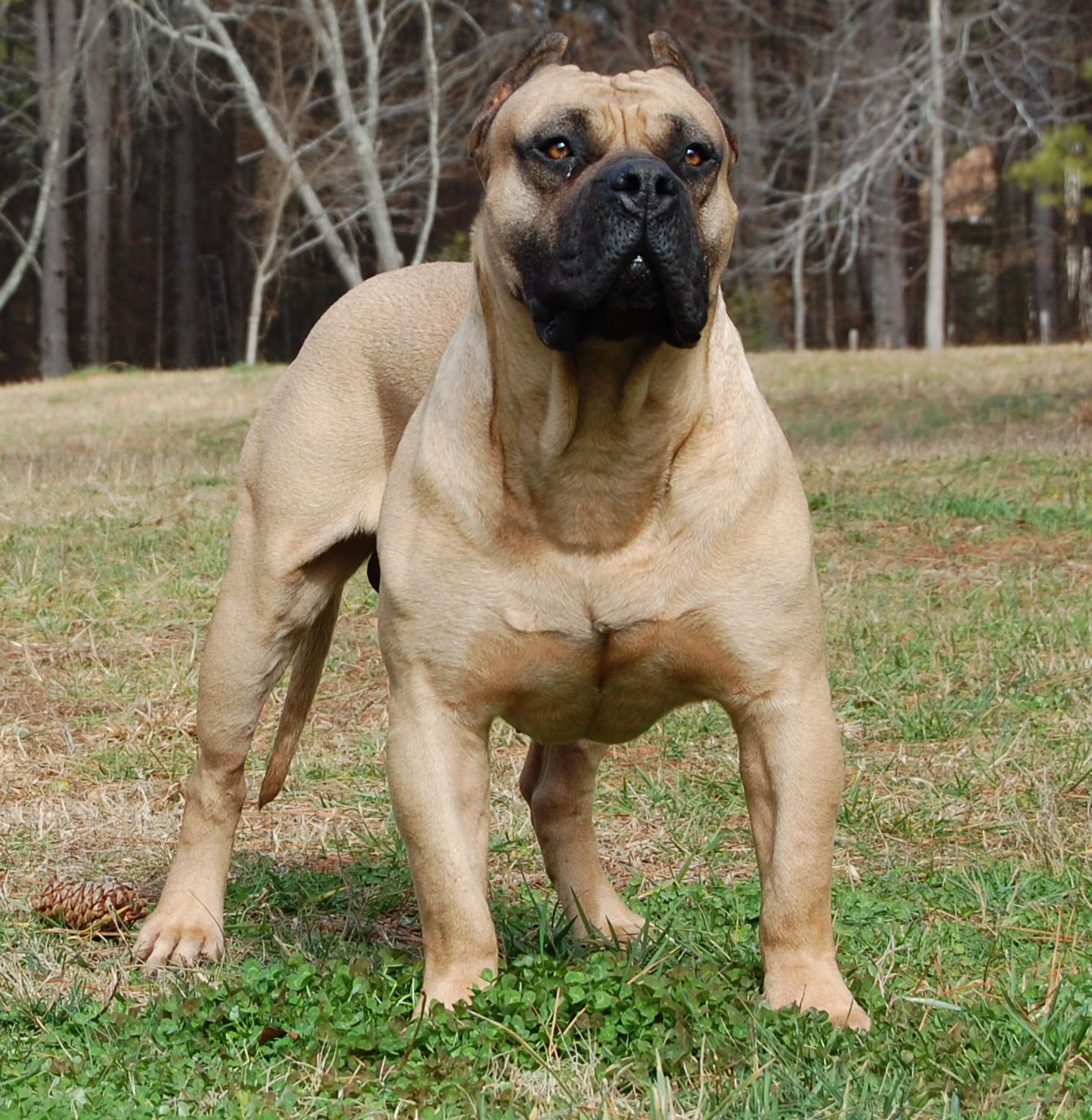 Is this a Panja Mastiff?