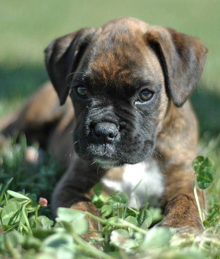 of determining puppies sex boxer