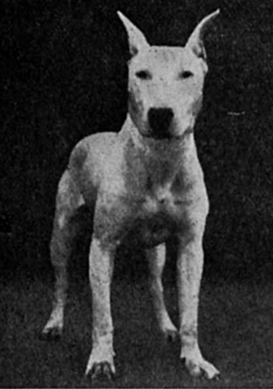 How do you breed English bull terriers?