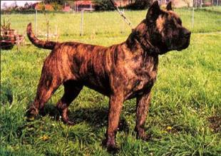 Is this a Irish Staffordshire Bull Terrier?