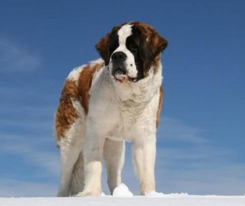 Is this a Saint Bernard?