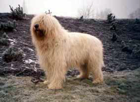 South Russian Ovcharka / South Russian Sheepdog