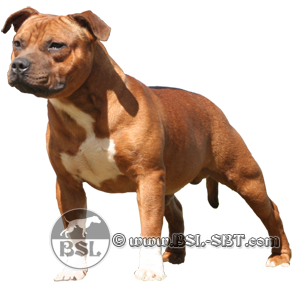 Staffordshire Bull Terrier / English Stafford
