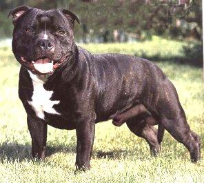 English stafford terrier