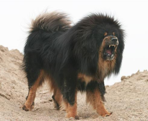 Tibetan Mastiff Temperament Leonberger Attack